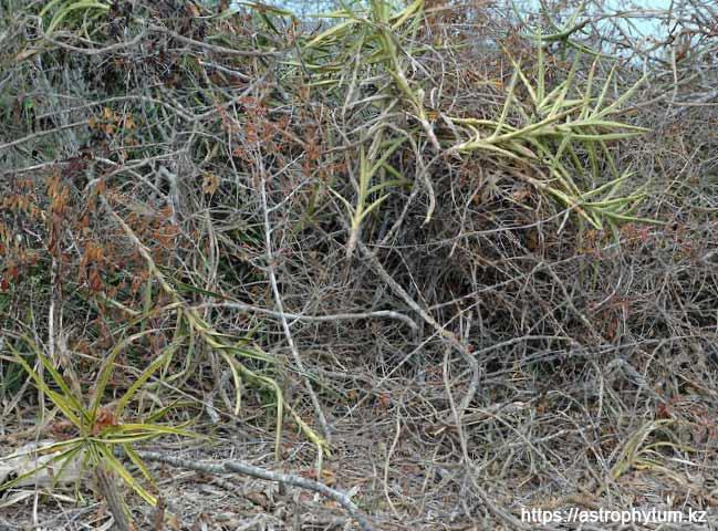 Sansevieria ascendens в природе