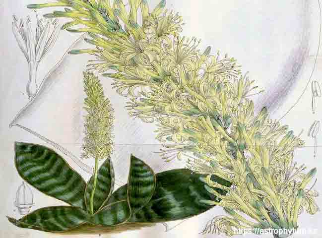 Sansevieria grandis – рисунок: (Hooker 1903)