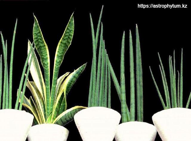 Типичные выращенные на продажу декоративные растения в горшках (слева направо: S. bacularis, S. trifasciata 'Futura Simplex', S. bacularis, S. cylindrica, S. bacularis)