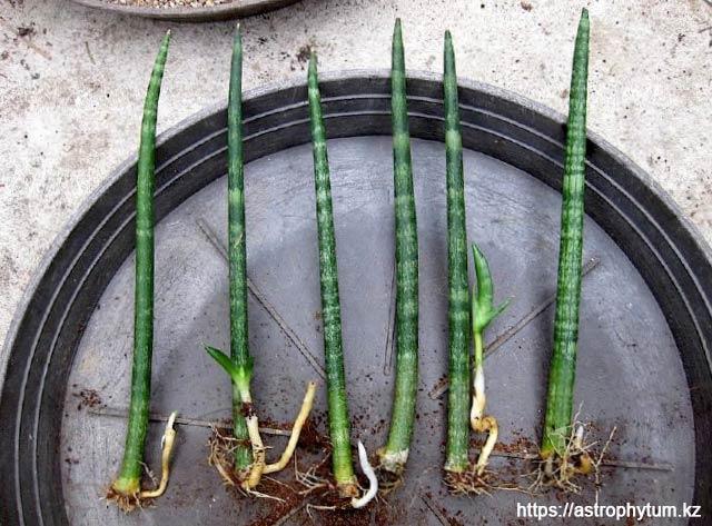 Sansevieria cylindrica размноженная листовыми черенками